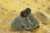 Devonian age Trilobites