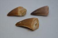 Mosasaur teeth, loose